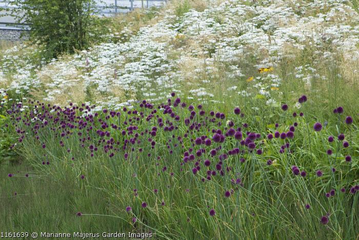 Leucanthemum x superbum 'T.E. Killin', Allium sphaerocephalon, Molinia caerulea 'Transparent', The Europe Garden