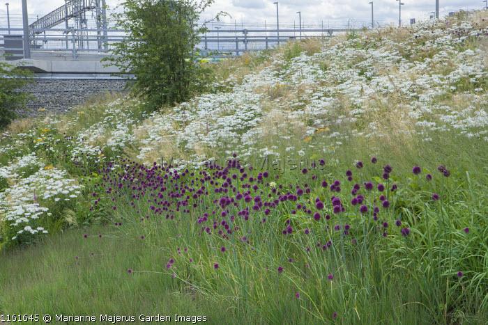 Allium sphaerocephalon, Leucanthemum x superbum 'T.E. Killin', Molinia caerulea 'Transparent', The Europe Garden
