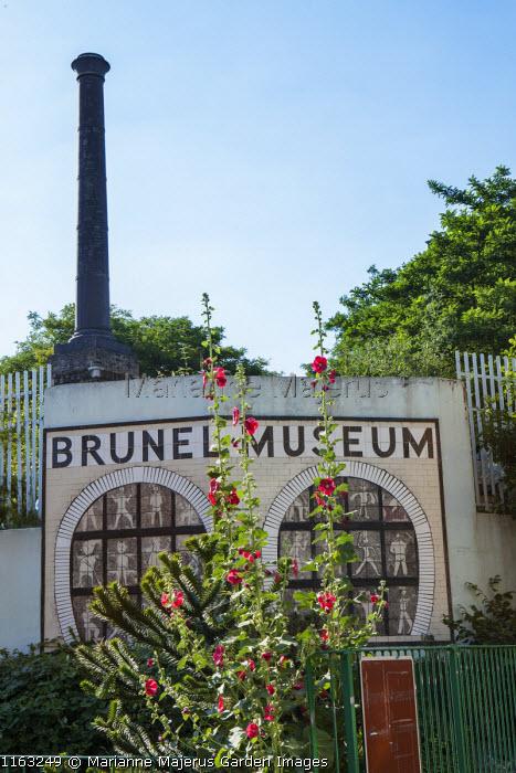 Brunel museum, Alcea rosea, Araucaria araucana