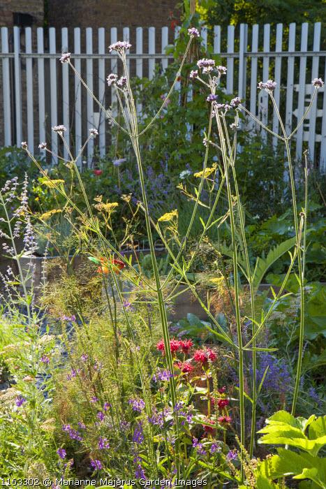 Verbena bonariensis, fennel, monarda, Linaria purpurea
