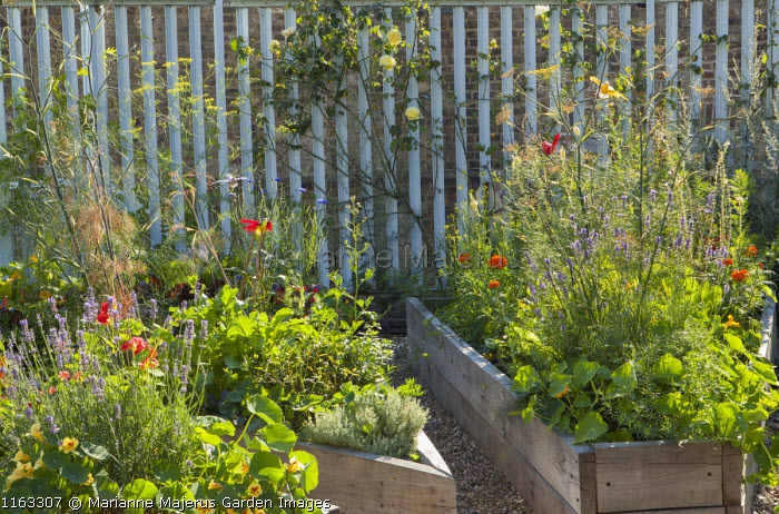 Herbs, lavender and nasturtiums in raised beds, rose climbing on fence
