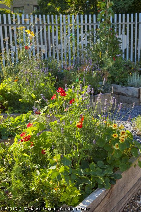 Nasturtium 'Crimson Emperor' and Lavandula angustifolia 'Munstead' in raised bed, fennel
