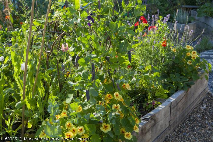 Pisum sativum 'Shiraz', Tropaeolum majus 'Strawberry Ice', Nasturtium 'Crimson Emperor', Lavandula angustifolia 'Munstead' in raised bed