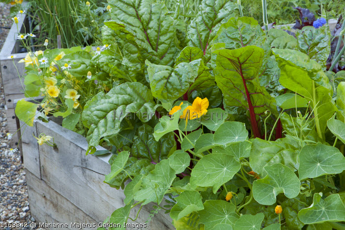 Nasturtiums and Swiss chard in raised bed