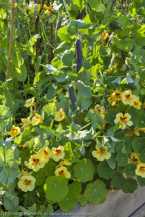Tropaeolum majus 'Strawberry Ice' and Pisum sativum 'Shiraz' in raised bed