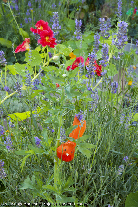 Nasturtium 'Crimson Emperor', Lavandula angustifolia 'Munstead', feather bird ornament