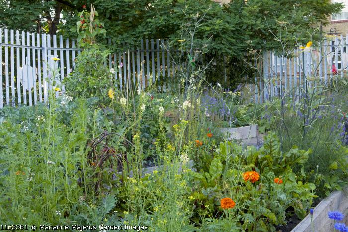 Town garden potager, marigolds, Swiss chard, fennel