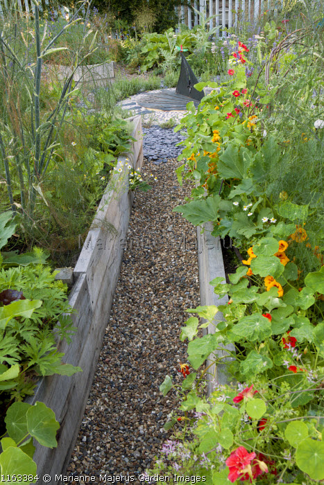 Nasturtiums, fennel and courgettes in raised beds, view to sundial