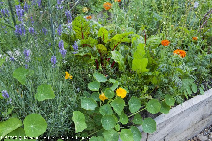 Nasturtium, Lavandula angustifolia 'Munstead', Swiss chard in raised bed
