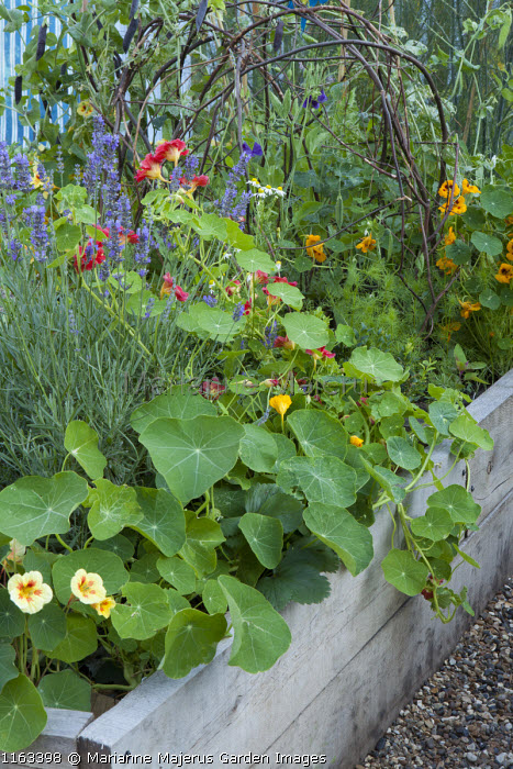 Tropaeolum majus 'Strawberry Ice', Nasturtium 'Crimson Emperor', Lavandula angustifolia 'Munstead' in raised bed
