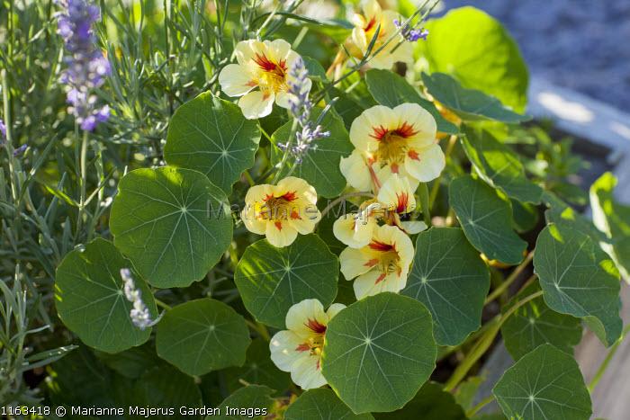 Tropaeolum majus 'Strawberry Ice' in raised bed, lavender