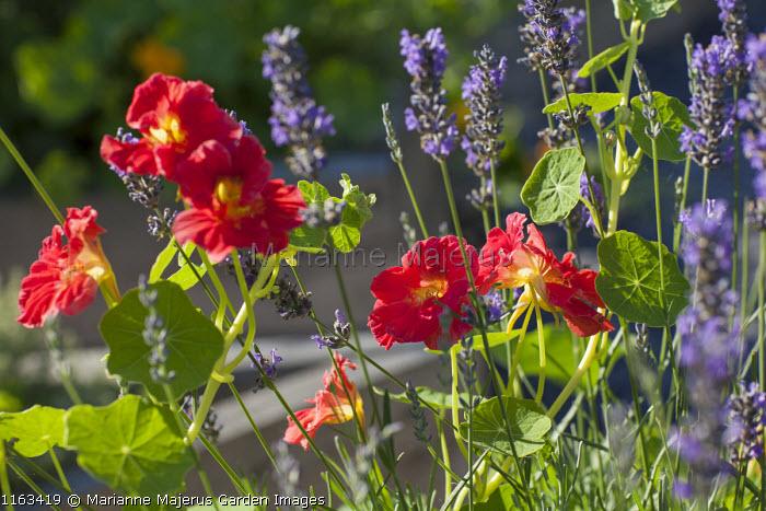 Nasturtium 'Crimson Emperor', Lavandula angustifolia 'Munstead'