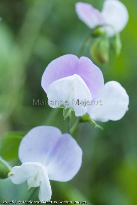 Lathyrus odoratus 'Heirloom Mixed'