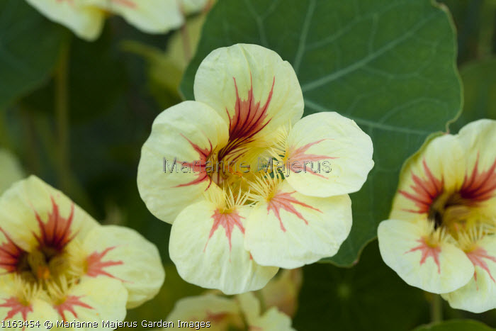 Tropaeolum majus 'Strawberry Ice'