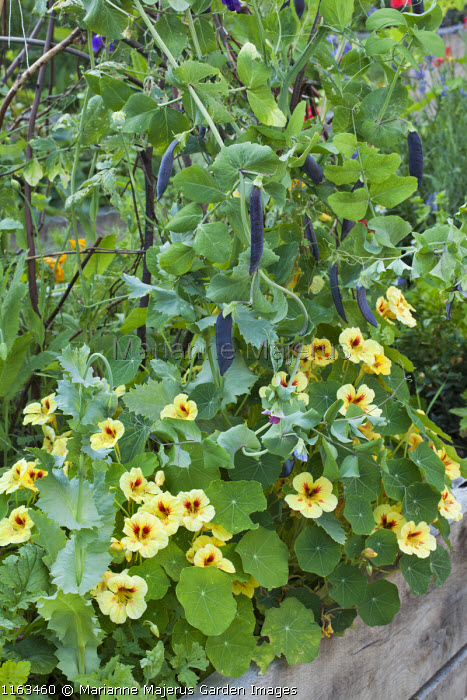 Pisum sativum 'Shiraz' on natural plant support, Tropaeolum majus 'Strawberry Ice'