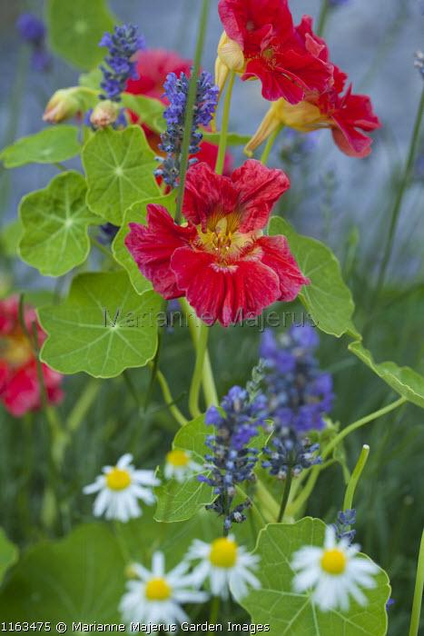 Tropaeolum majus 'Crimson Emperor', Lavandula angustifolia 'Munstead'