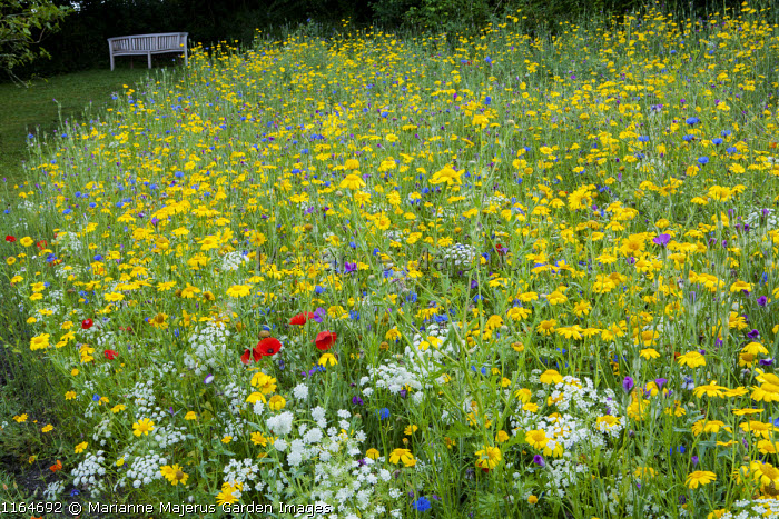 Queen Anne's lace, Corn marigolds, Field poppies, Corn cockles and Cornflowers in wildflower meadow, view to bench, Pictorial Meadows, Candy Annual Mix
