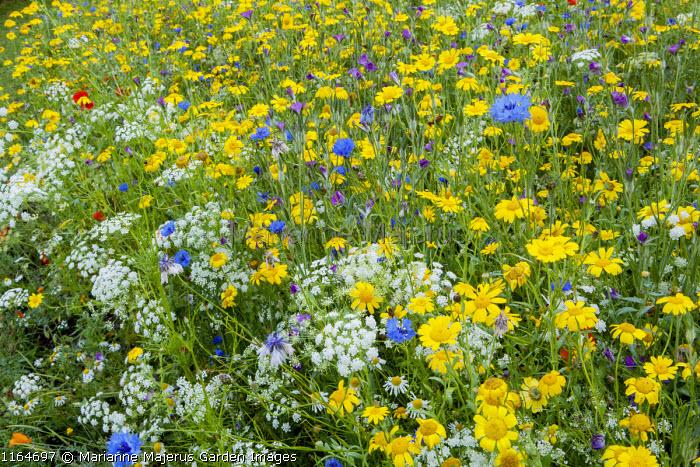 Agrostemma githago, Ammi majus, Chrysanthemum segetum and Centaurea cyanus in Pictorial Meadow, Candy Annual Mix