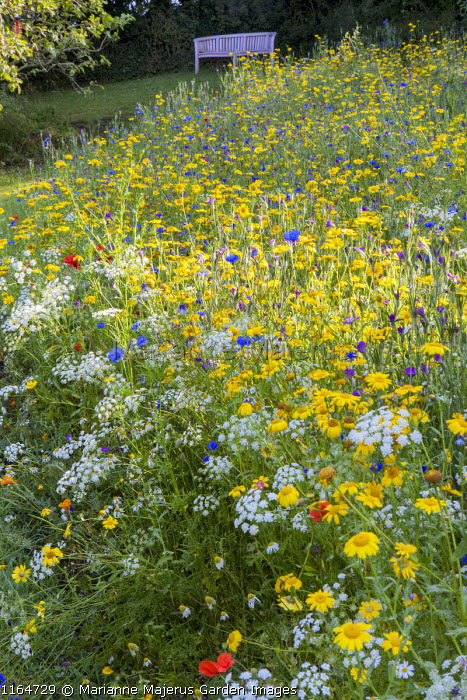 View across wildflower meadow with Corn marigolds, Field poppies, Corn cockles and Cornflowers to bench, Pictorial Meadows, Candy Annual Mix