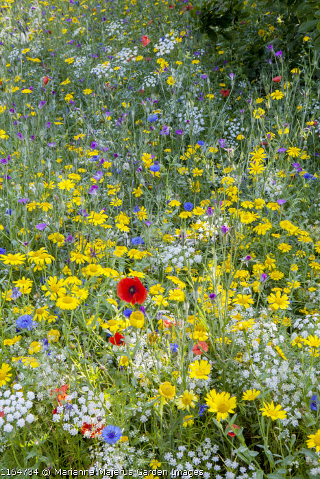 Wildflower meadow with Queen Anne's lace, Corn marigolds, Field poppies, Corn cockles, Cornflowers, Pictorial Meadows, Candy Annual Mix