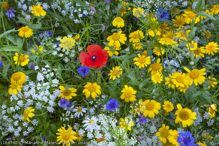 Wildflower meadow with Queen Anne's lace, Corn marigolds, Field poppies, Cornflowers, Pictorial Meadows, Candy Annual Mix