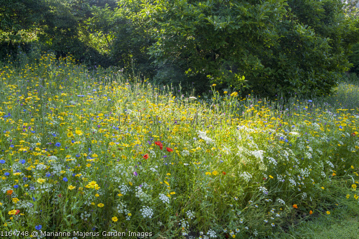 Small wildflower meadow with Corn marigolds, Field poppies, Corn cockles, Cornflowers, Pictorial Meadows, Candy Annual Mix