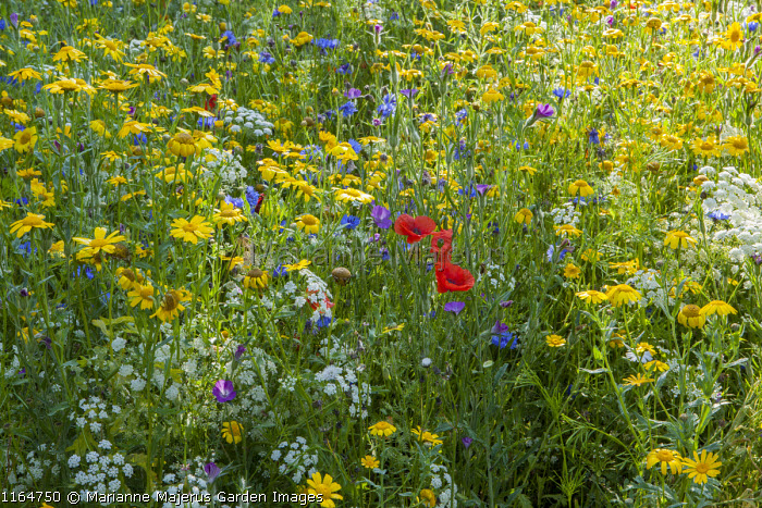 Wildflower meadow with Corn marigolds, Field poppies, Corn cockles, Cornflowers, Pictorial Meadows, Candy Annual Mix