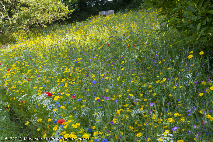 Wildflower meadow with Corn marigolds, Field poppies, Corn cockles, Cornflowers, view to bench, Pictorial Meadows, Candy Annual Mix