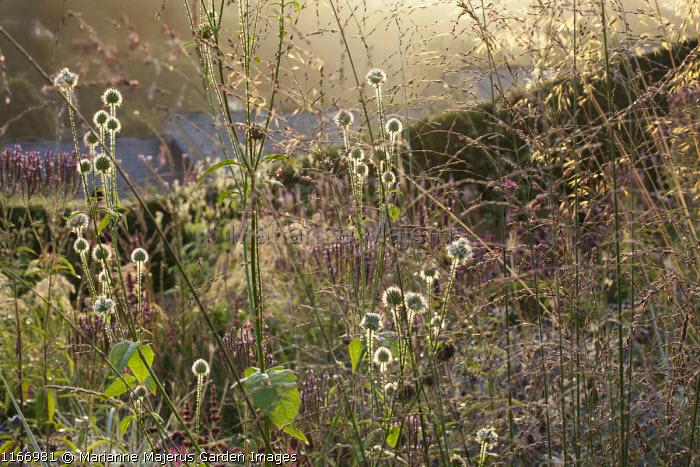Dipsacus pilosus, Molinia caerulea subsp. arundinacea 'Windspiel'
