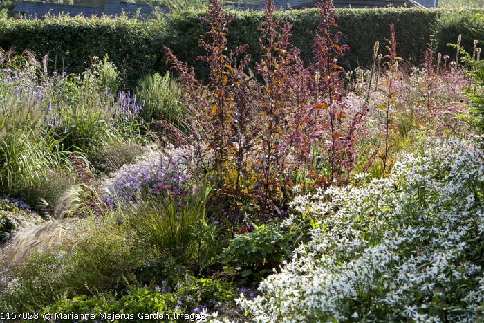Hordeum jubatum, Atriplex hortensis, Molinia caerulea subsp. caerulea 'Poul Petersen', Saponaria x lempergii 'Max Frei', Eurybia divaricata syn. Aster divaricatus