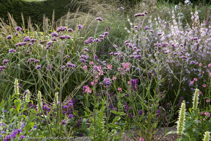 Verbena bonariensis 'Lollipop', Verbena Seabrook's Lavender = 'Sealav', Agastache rugosa f. albiflora 'Alabaster', Diascia personata, Molinia caerulea subsp. arundinacea 'Windspiel'