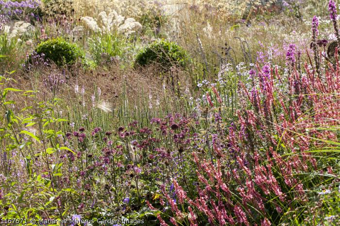 Astrantia, persicaria, clipped box balls in border, molinia, Stipa calamagrostis 'Lemperg'