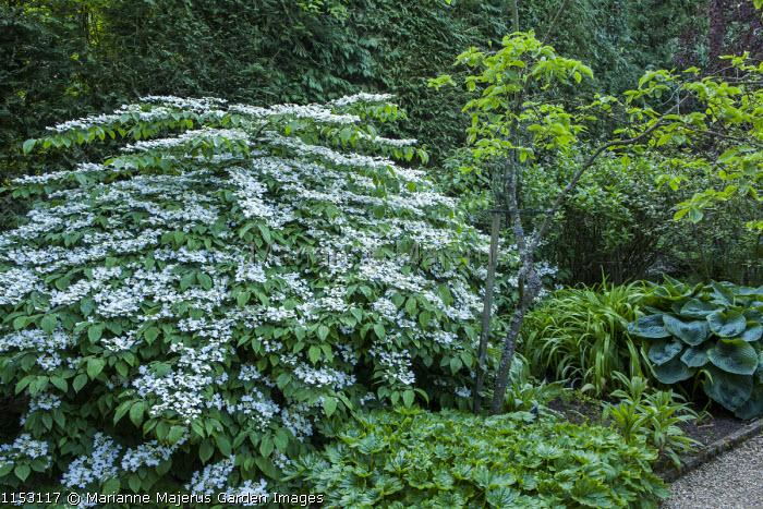 Viburnum plicatum f. tomentosum 'Mariesii', hosta