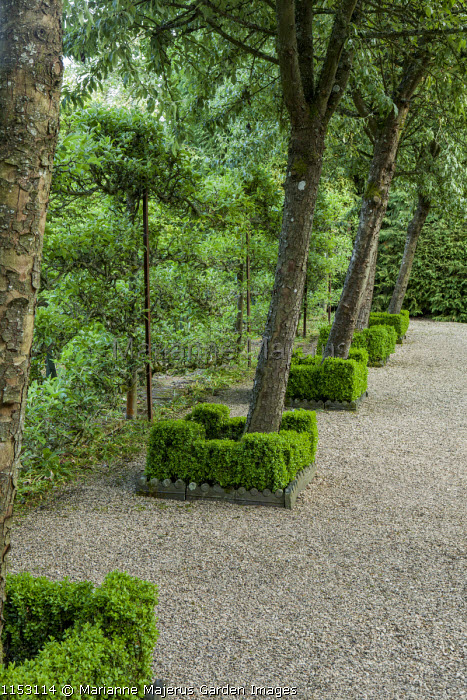 Ligustrum lucidum underplanted with clipped box hedges