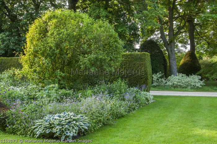Geraniums, aquilegias and Hosta 'Patriot' in border by yew hedge, lawn, driveway