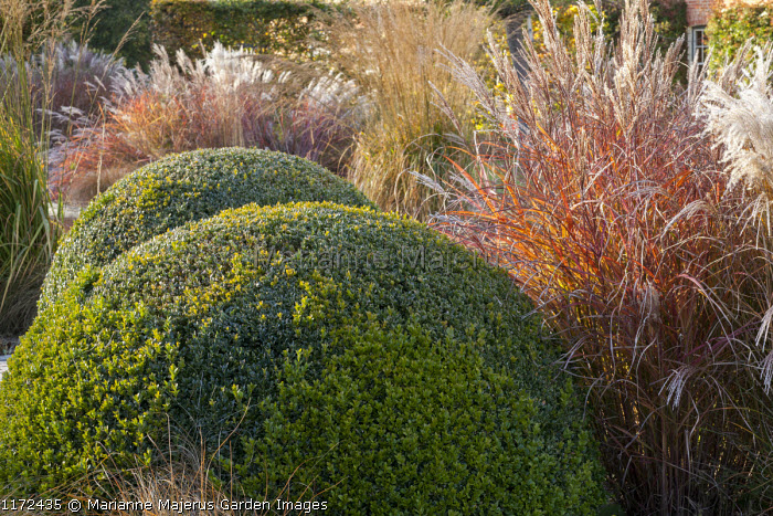 Clipped box domes, Miscanthus sinensis 'Ferner Osten', molinia