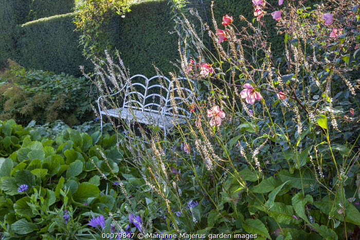 White metal bench, Persicaria amplexicaulis 'Alba', bergenia, Anemone x hybrida, yew hedge