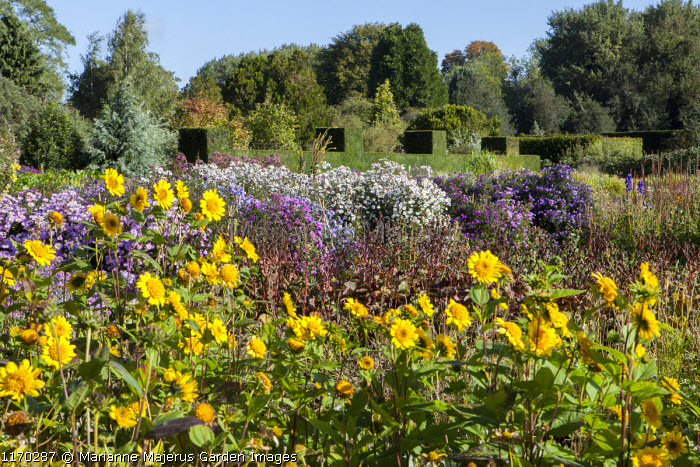 Heliopsis helianthoides var. scabra 'Waterperry Gold', symphyotrichum syn. aster border