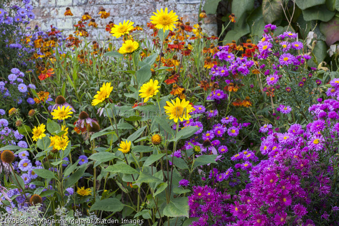 Late summer border, Heliopsis helianthoides var. scabra 'Waterperry Gold', Helenium 'Sahin's Early Flowerer', aster syn. symphyotrichum