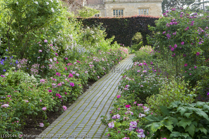 Rosa gallica 'Versicolor' lining stone sett pathway, clipped arch in copper beech hedge