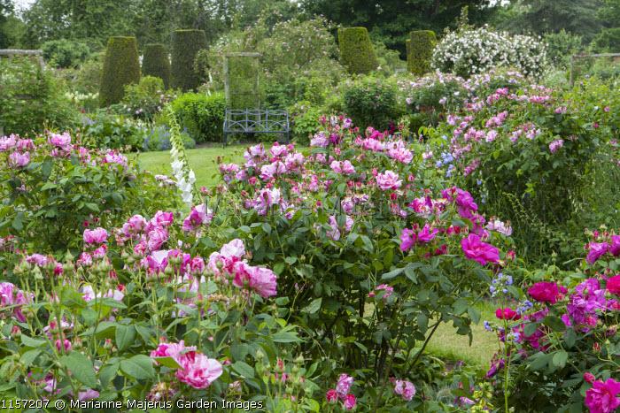 Rosa gallica var. officinalis and Rosa gallica var. officinalis 'Versicolor' syn. Rosa mundi, bench on lawn