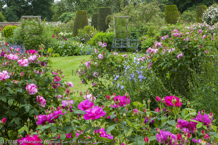 Rosa gallica var. officinalis and Rosa gallica var. officinalis 'Versicolor' syn. Rosa mundi, view to bench on lawn, yew columns