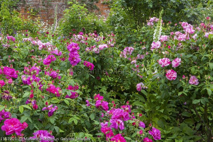 Rosa gallica var. officinalis and Rosa gallica var. officinalis 'Versicolor' syn. Rosa mundi