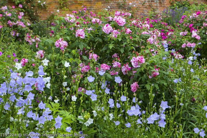 Rosa gallica var. officinalis 'Versicolor' syn. Rosa mundi, campanula