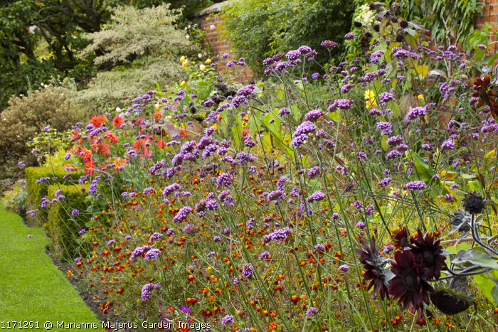 Late summer border with Verbena bonariensis, dahlias, sunflowers and Tagetes patula, Cornus controversa 'Variegata'
