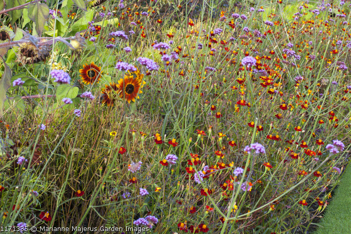 Late summer border with Verbena bonariensis, Helianthus annuus 'Ring of Fire' and Tagetes patula