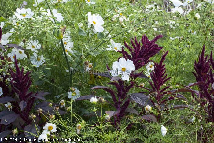 Cosmos bipinnatus, amaranthus
