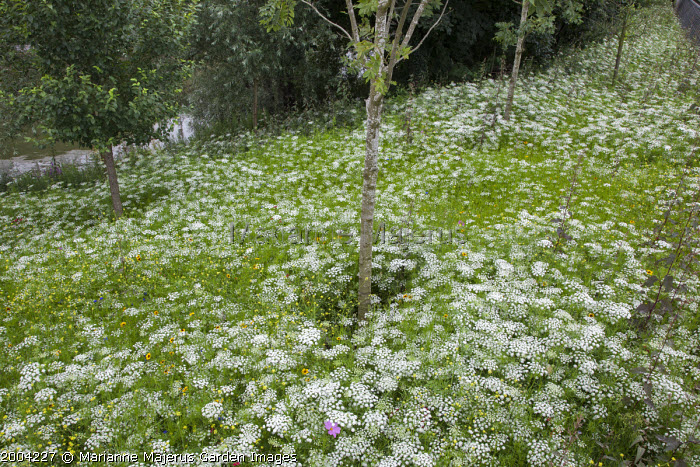 The Olympic Park, London 2012; plantings of annuals on a slope, predominantly Ammi majus, by Sarah Price, James Hitchmough and Nigel Dunnett;