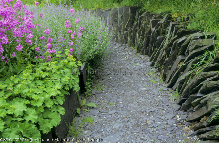 Hesperis matronalis violet, Alchemilla mollis, Nepeta racemosa 'Walker's Low', slate wall and path