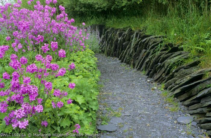 Hesperis matronalis violet, Alchemilla mollis, Nepeta racemosa 'Walker's Low' slate wall and path